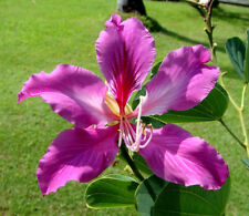 Orchid Tree   Bauhinia variegata   10 Seeds   (Free US Shipping)