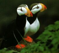 Puffins birds coastal waterways Alaska Postcard