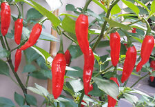 Hot Red Citrus Chilli - This Grows Even in Rocks - 10 Australian Grown Seeds!!!
