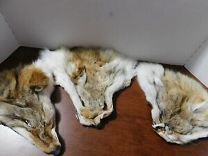 (3) NEW COYOTE FACES TANNED -- TAXIDERMY--SOFT AND READY TO USE-L9-03-20-1