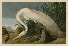 Snowy Owl by John James Audubon Wildlife Bird Animal Nature Print Poster 19x13