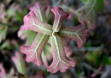 Black Jack Oak - Quercus marilandica, 1 year old, 6-9 inches, bareroot