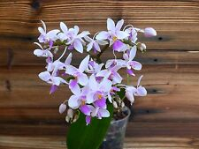 Orchid Phalaenopsis equestris PM531 x equestris Muave! 2spike!BLOOMING!BIG PLANT