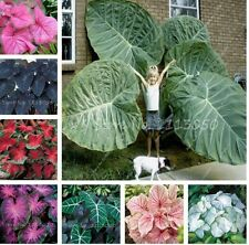 30 Pcs Caladium Indoor Plants Seeds Florida Caladium Bicolor Seeds Bonsai Coloca