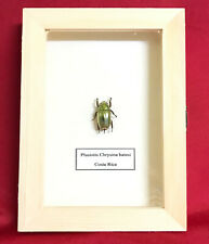 Real Framed PLUSIOTIS CHRYSINA BATESI Taxidermy Insects