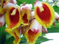 10 FLOWER CARDAMOM CARDAMON ORGANIC PLANT SEEDS Elettaria cardamomum Spice