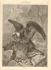Condor, Bird Of Prey, Kills Lama, S. America, Vintage 1880 French Antique Print