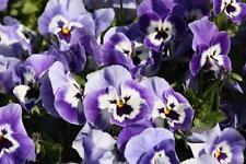 50 Seeds Joker Light Blue Pansy Seeds