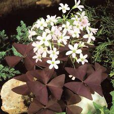 1-bulb Oxalis regnellii var. triangularis Oxalis triangularis {Oxalidaceae}