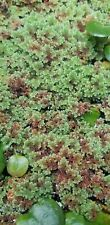 1 CUP of Live Azolla / Mosquito Fern - Aquarium and Pond Plant