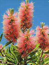 Callistemon Pink Champagne (bottlebrush) in 75mm supergro tube Native Plant