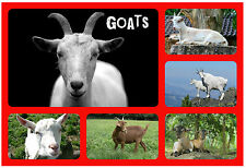 GOATS - NOVELTY SOUVENIR FUN FRIDGE MAGNET - BRAND NEW - LITTLE GIFT / XMAS
