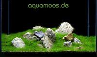 Mini-Moos fürs AQUARIUM, Minimoos, Taxiphyllum spec. !