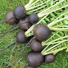 RADISH Black Spanish Round Heirloom Seeds (V 428)