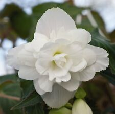 15 Seeds Begonia Illumination White Pelleted FLOWER SEEDS illumination