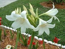 Crinum Lily, Powellii Album, JUMBO, blooming-size bulb