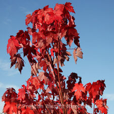 Acer Rubrum October Glory Pot Grown 12 Litre 1.8 metres tall