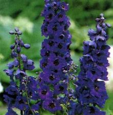 Delphinium Seeds Black Knight 100 FLOWER SEEDS