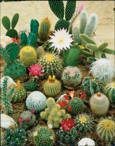 30 Mixed Succulent Cactus Echeveria Bonsai Plant Seeds- Cactus Beauty-S003