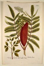 J. W Weinmann original 1739 sumach maulbeer-cobarde färberbaum phytanthoza Botanic