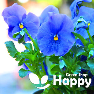 PANSY CLEAR CRYSTAL - BLUE - 300 seeds - Viola wittrockiana - Bedding Flower