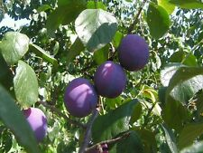 Prunus St. Julien-morado ciruela -5 viable semillas.