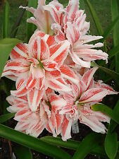 Dble Hippeastrum DANCING QUEEN  Stunning Flower- 15 month old offset bulb