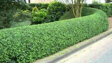 FALL SALE! 10 Live Privet Shrubs (10ft+) For Hedges (10ct) for 10ft Hedge