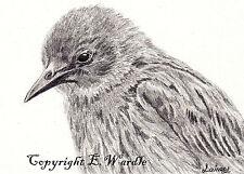 "ACEO 2.5"" x3.5"" Print of Original Juvenile Starling Bird Pencil Drawing E.Wardle"