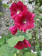 40 graines de Rose Trémière - couleur rose fuschia - BIO