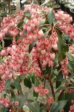10 Pcs   Japanese Katsura Tree Seeds- CERCIDIPHYLLUM JAPONICUM/ (FL128)