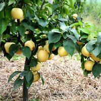 Golden Pear Seeds Quality Pear Fruit Tree Potted Adequate Stock Golden Pear Seed