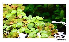 Floating Live Aquarium Plants - Limnobium, Watter lettuce, Salvinia and Others