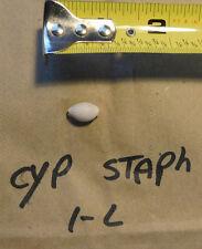 1 - CYPRAEA STAPHYLAEA  F++  collector display shells ITEM # 1-L