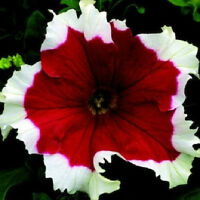 50 Petunia Pelleted Frost Cherry Petunia Seeds