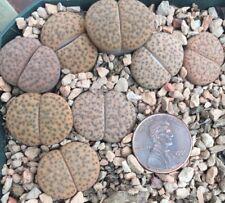 Lithops fulviceps C390 1 seedling