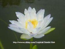 1 plant bulb blue N. Gigantea water lily lotus + Free Document