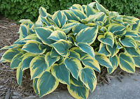 """First Frost Hosta Healthy Heavy Established Rooted Perennial 4"""" Potted Plant"""