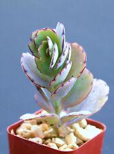 """Kalanchoe fedtschenkoi rare succulent air plant cactus garden exotic aloe 2"""" pot"""