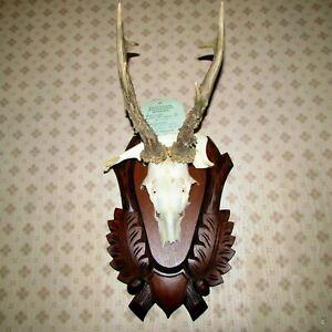 stupendo trofeo di caccia capriolo corna scudo palco tassidermia taxidermy