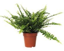 Schwertfarn FloraSelf Nephrolepis exaltata 'Green Lady' H 30-40 cm Ø 12 cm Topf