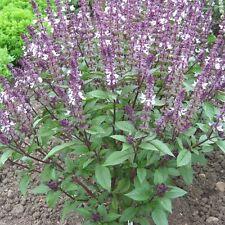 Herb Seeds - Basil Cinnamon - 500 Seeds