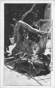 H70/ Darby Montana Postcard c1910 Lemert Image Bobcat Pine Forest  184