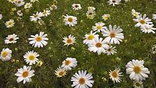 100 grams Swan River Daisy (Brachyscome iberidifolia - White) Wildflower Seed