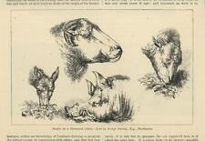 ANTIQUE HEAD STUDY OF PIG BOAR DONKEY SHEEP GOAT RAM FARM YARD OLD ART PRINT