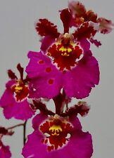 Oncidium Papillon Spots Pot en Argile Sélection Floraison Forte Orchidées Vanda