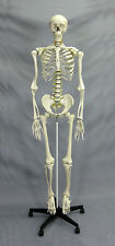 Deluxe Human Skeleton Life-Size Educational NEW
