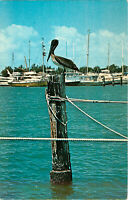 Postcard Pelican In Florida Waterways