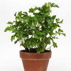 Italian Plain Leaved Parsley Seeds 1000 Heirloom Vegetable, Buy 3 get 4th free