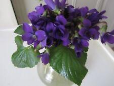 10+ Wild Sweet Garden Violet Plants Perennial Viola Odorata Organic Medicinal